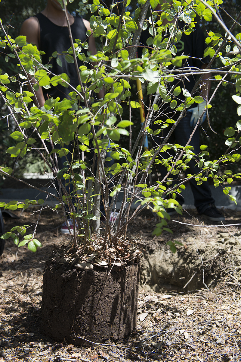 Saddleback College's Environmental Awareness Club's second annual tree planting event on April 21, 2014 ends with a newly planted water birch tree.